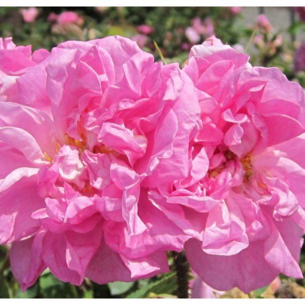 أحلى ورد جوري Damasks - صور ورد وزهور Rose Flower images