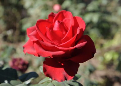 ورد جوري أحمر Red Damask Rose Pictures - صور ورد وزهور Rose Flower images