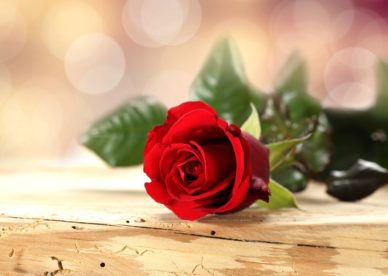 صور ورد أحمر للعشاق Red Rose Flower Love - صور ورد وزهور Rose Flower images