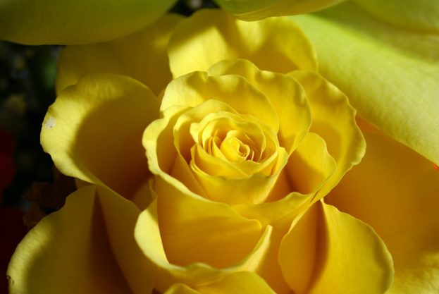 ورد اصفر جوري 2017 Yellow Rose HD Photo - صور ورد وزهور Rose Flower images
