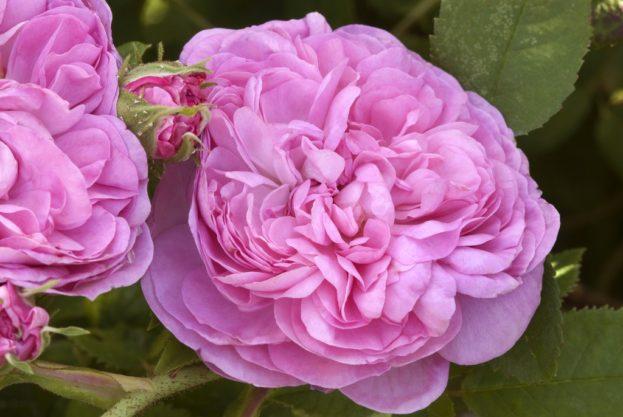 باقات ورد جوري Damask Rose Wallpaper - صور ورد وزهور Rose Flower images