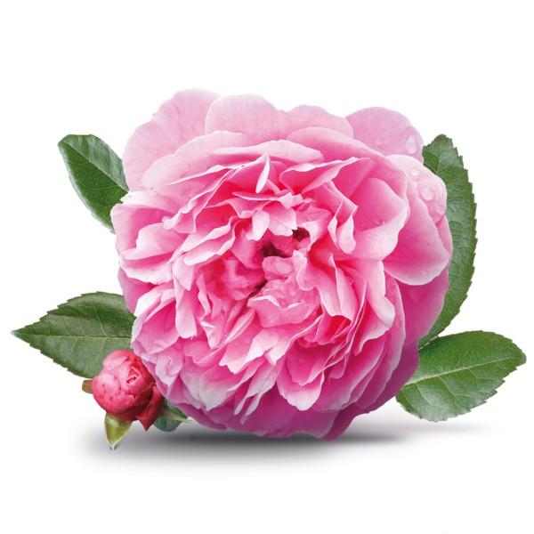 ورد جوري وردي طبيعي صور تصميم Damask Rose Fresh Flower - صور ورد وزهور Rose Flower images