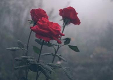 رمزية ورود حمراء جميلة ومعبرة - صور ورد وزهور Rose Flower images