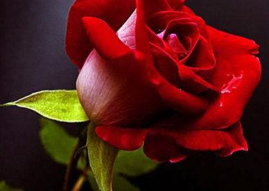 ورد جوري أجمر جميل Red - صور ورد وزهور Rose Flower images
