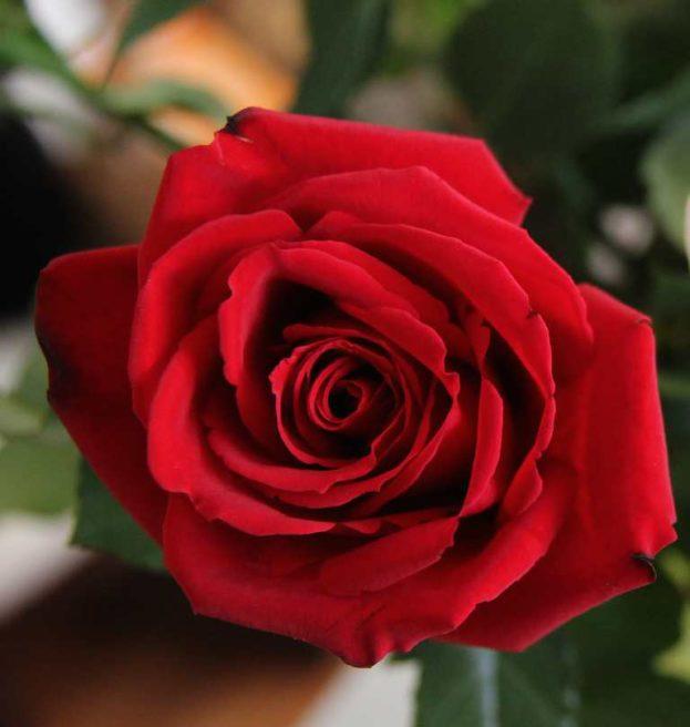 صور ورد أحمر طبيعي رومانسي Red Rose - صور ورد وزهور Rose Flower images