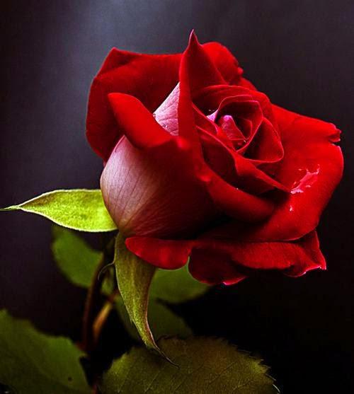 ورد جوري أجمر جميل Red صور ورد وزهور Rose Flower Images