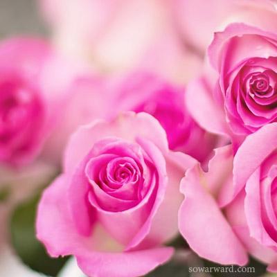 خلفيات بروفايل ورود صور ورد وزهور Rose Flower Images