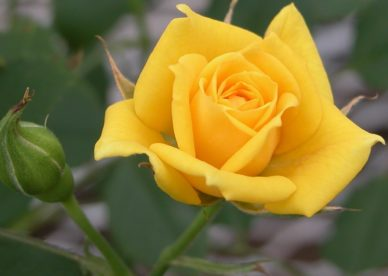 Best Yellow Flowers - صور ورد وزهور Rose Flower images