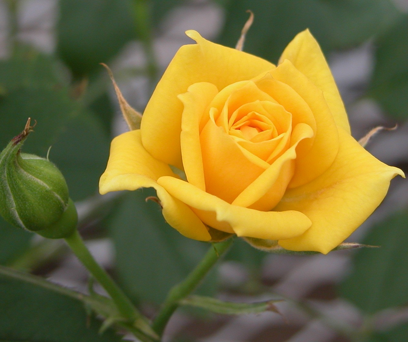 Best yellow flowers rose flower images - Rose flower images full size hd ...