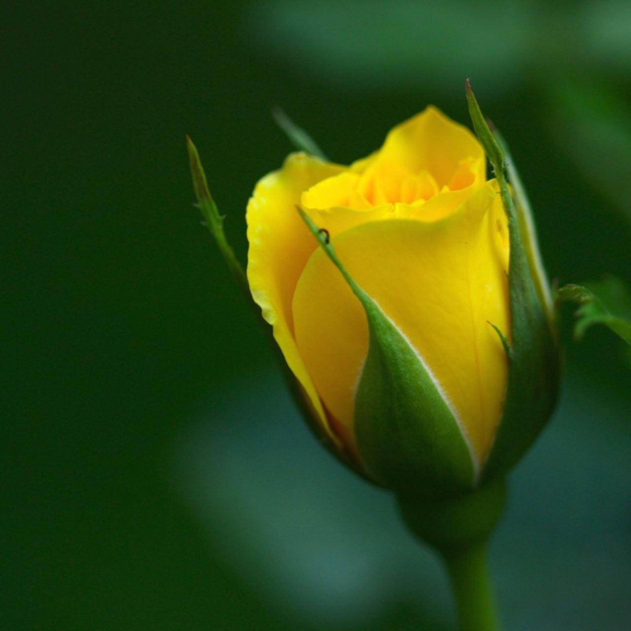 وردة صفراء جميلة صور ورد وزهور Rose Flower Images