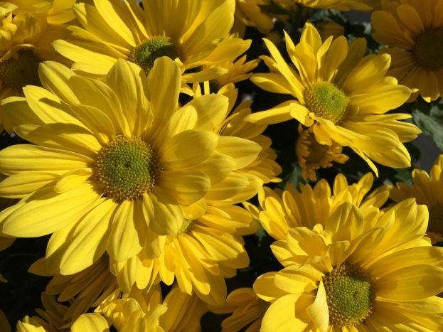 ورد أصفر عباد الشمس صور ورد وزهور Rose Flower Images