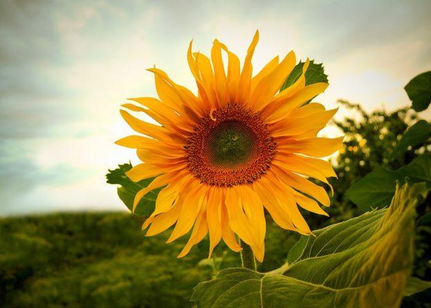زهرة عباد الشمس Free Photo Sunflowers صور ورد وزهور Rose Flower Images