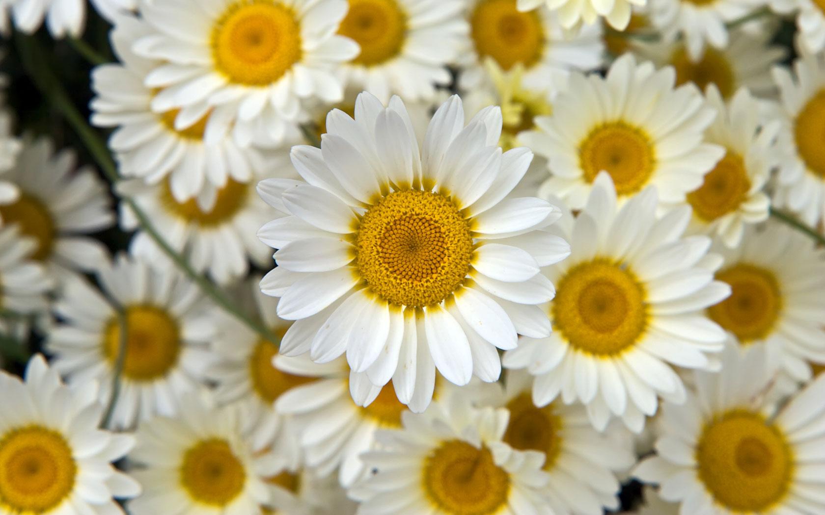 صور عباد شمس أبيض Fresh White Sunflowers صور ورد وزهور Rose Flower Images
