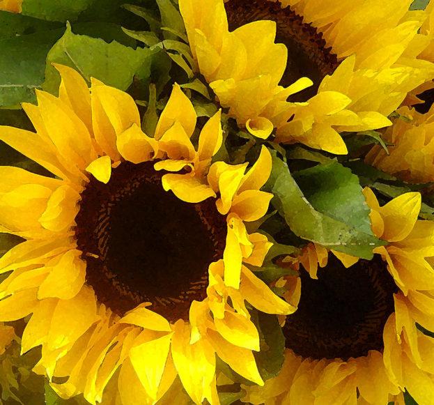 صور زهور عباد الشمس عالية الدقة Sunflowers - صور ورد وزهور Rose Flower images