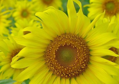 Yellow Sun Flowers Images - صور ورد وزهور Rose Flower images
