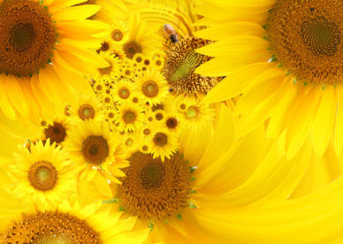 Yellow Sunflowers HD Wallpapers - صور ورد وزهور Rose Flower images