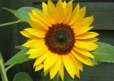 Sunflower HD Pictures - صور ورد وزهور Rose Flower images