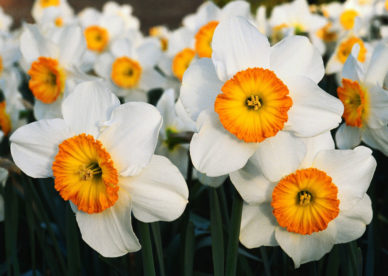 صور ورد النرجس -صور ورد وزهور
