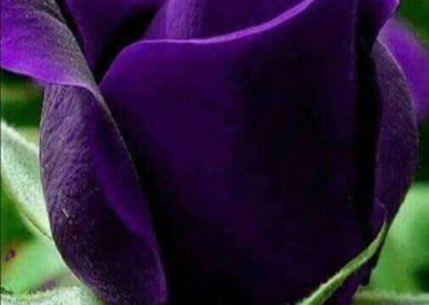 صور زهرة البنفسج للفيس بوك-صور ورد وزهور