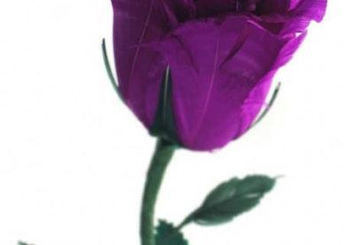 صور جديدة لزهرة البنفسج-صور ورد وزهور