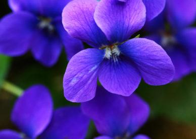صور عن وردة البنفسج-صور ورد وزهور