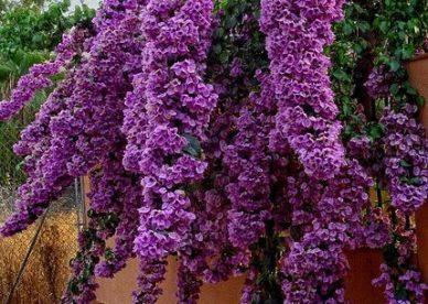 صور ورد بنفسجي طبيعي-صور ورد وزهور