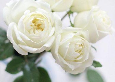 صور ورد وزهور بيضاء جديدة ومنوعة - صور ورد