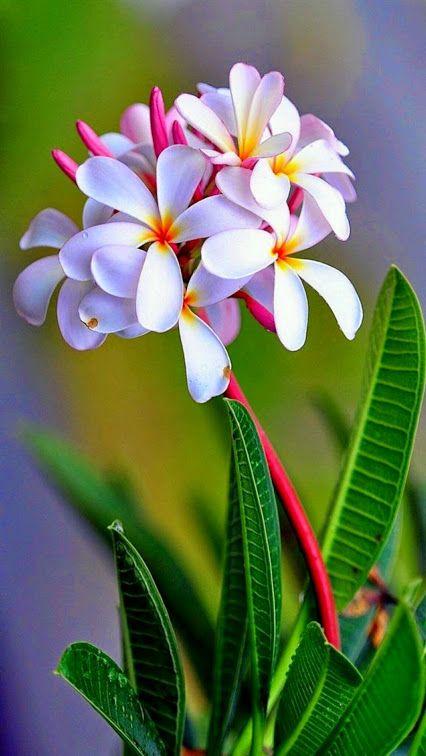 صور عن زهور الياسمين-صور ورد