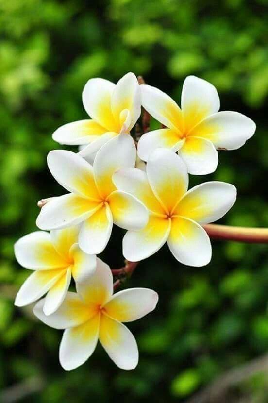 صور ورد وزهور الياسمين jasmine flowers-صور ورد