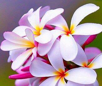 صور زهور الياسمين جميلة-صور ورد