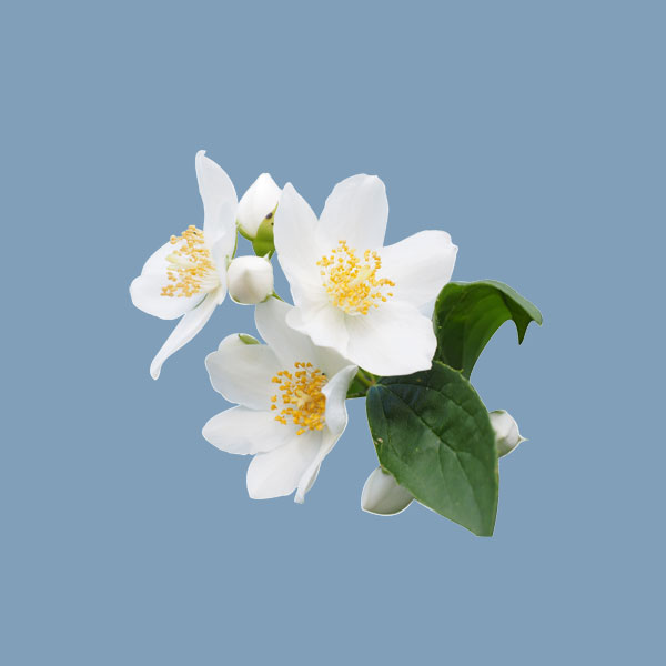 صور زهرة الياسمين جديدة-صور ورد
