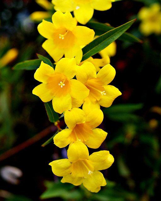 بستان ورد المصــــــــراوية - صفحة 6 Jasmine-flower-18