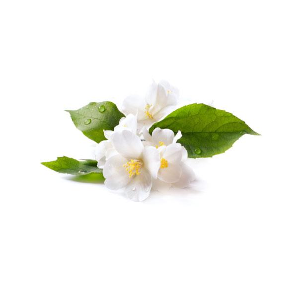 صور عن وردة الياسمين-صور ورد