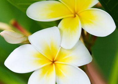 صور زهور الياسمين جديدة 2018-صور ورد