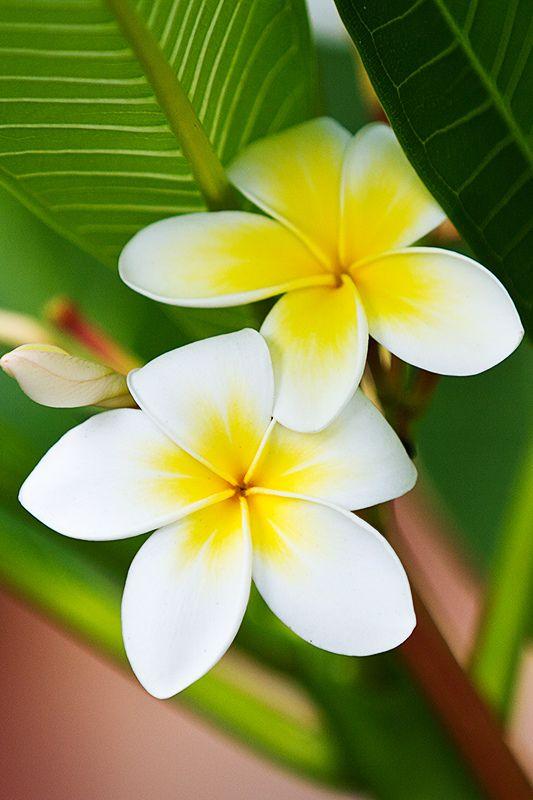 بستان ورد المصــــــــراوية - صفحة 5 Jasmine-flower-5