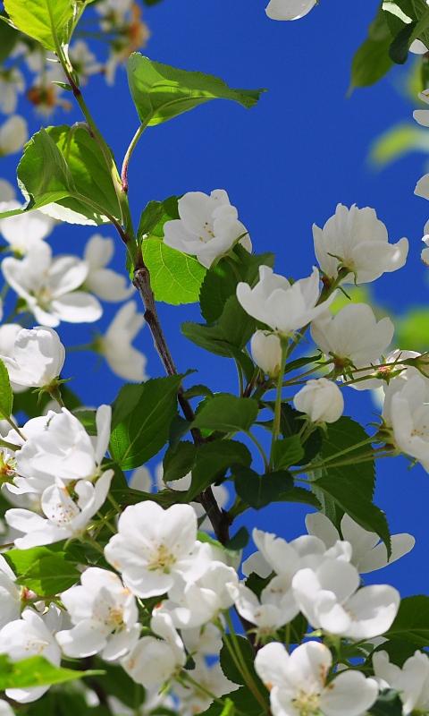 بستان ورد المصــــــــراوية - صفحة 6 Jasmine-flower-9