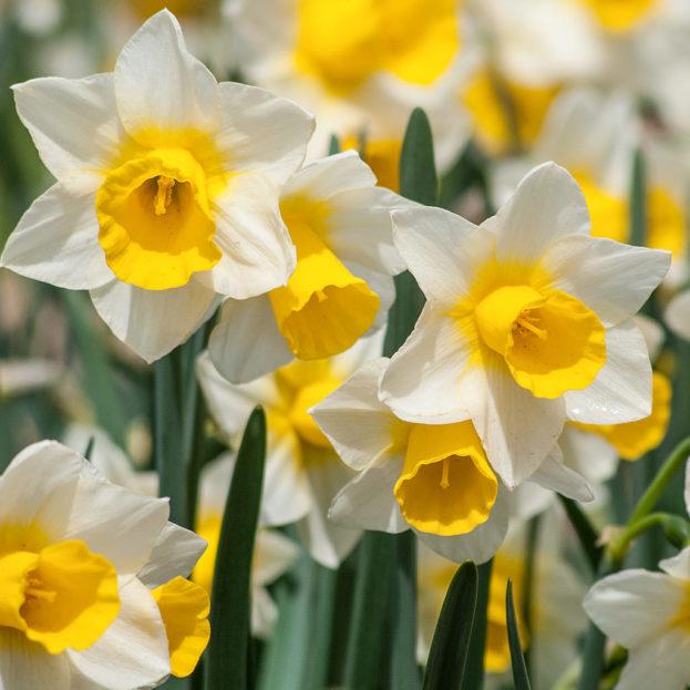 صور ورد وزهور النرجس-صور ورد