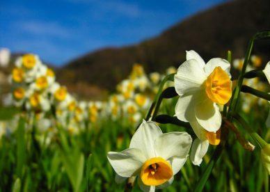 زهرة النرجس الطبيعية بالصور-صور ورد