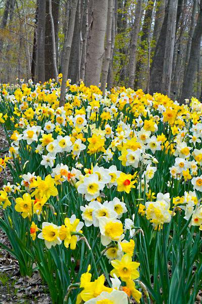 صور زهرة نرجس باللون الأبيض والأصفر-صور ورد