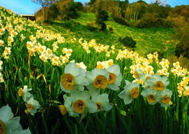 أفضل صورة زهرة نرجس-صور ورد