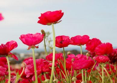 صور ورد أحمر من الطبيعة الجميلة-صور ورد طبيعي