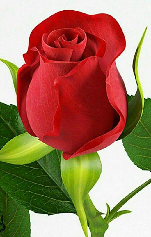 أحلى وردة حمراء طبيعية - صور ورد