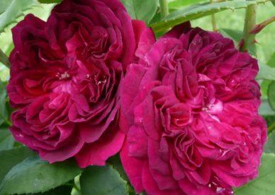 ورد جوري HD - صور ورد وزهور Rose Flower images