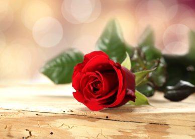 صور ورد أحمر للعشاق Red Rose Flower Love - صور ورد وزهور Rose Flower images