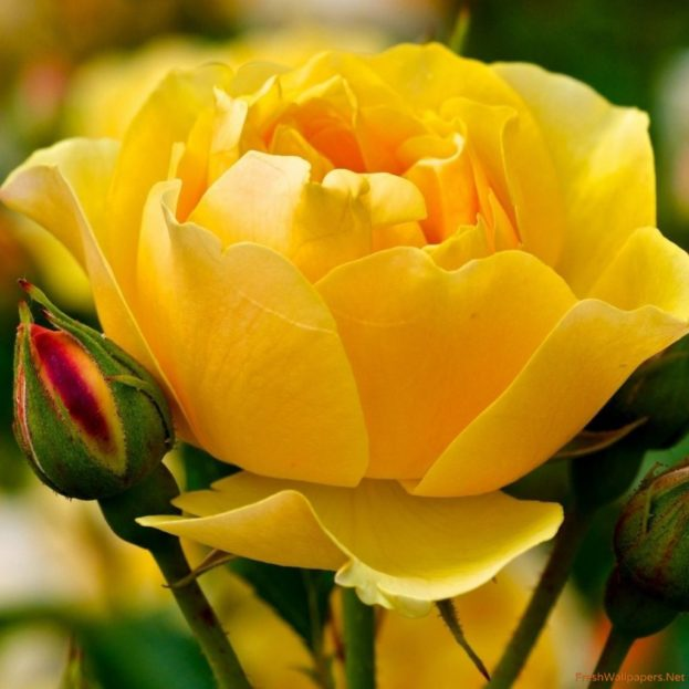 ورود صفراء صافية Yellow Rose - صور ورد وزهور Rose Flower images