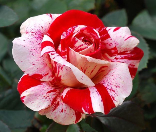 Red White Rose Seeds - صور ورد وزهور Rose Flower images