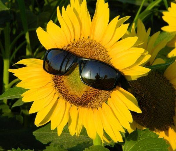 Best SunFlower Pictures - صور ورد وزهور Rose Flower images