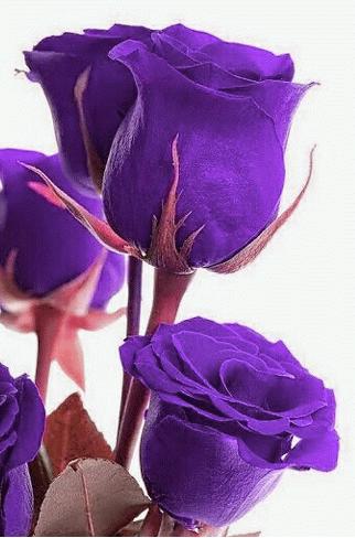 أحلى صور زهرة البنفسج-صور ورد وزهور