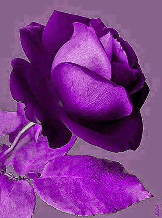 صور عن زهرة البنفسج Violet flower photo-صور ورد وزهور