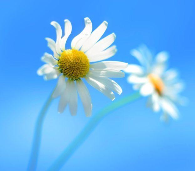خلفيات ورد ابيض White roses wallpapers HD - صور ورد